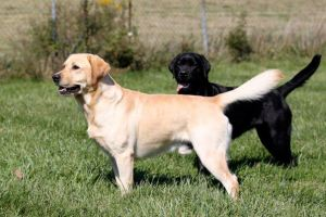 "These stunning creatures are Norton and B. They are English Labs, and very ""Purdy"". I'm pretty sure I've never seen either one retrieve anything all the way back! However, you can't beat them as service dogs! They do bring a lot of joy and comfort to so many people."