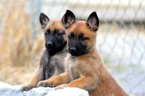 While you pick yourself up off the floor, enjoy this picture of these 6 week old Malinois puppies. They were started on the raw diet at this age, at the about the time their teeth came in.