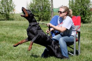This is Clark, a 5 year old Doberman. He is not as active as the other dogs, so his nutrition requirements are not as high. However, he is still hard to keep weight on. The raw diet is a great way to let him keep his preferred activity level, but still maintain a healthy weight.
