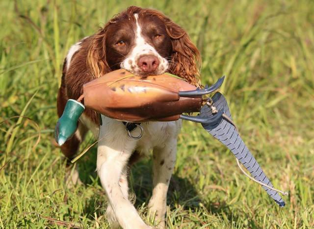 There's a reason you don't see many Springers doing hunt tests and field trials. Most of them are born with the instinct to quarter within gun range and retrieve. This is not a desirable trait when you are wanting to do things that require him to be incredibly sensitive to the handler, like blind work. Their instincts tell them that they need to quarter the field to find the birds. Running in a straight line and waiting for you to help them find the bird never crossed their mind. In their brain, the whole reason you have them is to find the bird. They don't need your help to do their job. If you just let them do what comes naturally, they will get you the bird. I'm not saying it can't be done, but there's a reason why Springer people have their own trials. I love working with Springers, because there is nothing more beautiful than watching a well bred Springer quarter a field looking for a bird. Many of them also have fun and resilient personalities and they usually love to work. They are not my chosen breed when I am looking to do hunt tests, but I would hunt over a good one for Pheasant any day of the week.