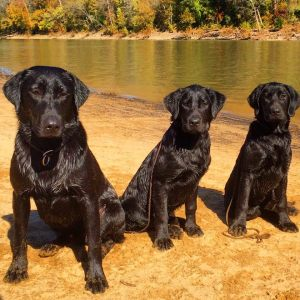 """Here we have three dogs, all related. The father on the left, daughter in the center, and son on the right. You would think that they would be pretty similar, and while they are alike in appearance, you are looking at three totally different dogs. Deacon, on the left is becoming a great hunt test dog and is working on his CH this year and hopefully some AKC Field trials as well as other competitions. He hunts occasionally and travels with me all over the place. He has a few flaws, but is a great house dog and companion as well a field dog. Henry, on the right side, is almost the double of his Dad. Great field dog, a little skeptical, but all around a good dog to have around for the type of competing that I do. On the flip side, he's hard to have in the house. He doesn't """"turn off"""" as easily has Deacon does. It's just who he is and I know that when he comes home with me, I'm going to have to exercise him within an inch of his life to be able to  get any sleep that night! Then comes Peanut in the center. Now you would think she would be pretty similar to her brother, but you couldn't be more wrong. She loves everyone in and situation. There is no skepticism in her at all. On the flip side, she's not as reliable of a retriever as her brother. She fetches and returns to hand with a perfectly soft mouth, but has moments of silliness and doesn't pick the bird up and chooses to hunt the field instead, as I described in the article. I've moved her into the environmental detection dog work instead, because she has a great work ethic and loves to go, she just doesn't always want to pick up ducks. Now, would you be surprised to know that these two puppies are out of a bitch who is even more lethargic than the yellow lab I reference in this article?"""