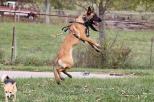 This is my Malinois, Reba. Looks like a pretty high drive dog in this picture, doesn't she? You would think that she is the perfect protection dog for our home, but honestly the lab will probably deter more people that she ever will. She's high drive for a ball, tug, or Frisbee. Biting people, not so much. She looks like the perfect Malinois with great conformation and eagerness to work, but has exactly zero skepticism towards people. She is incredibly social, although a little dog aggressive. Now, she is perfect for me, because I love to play Frisbee, she travels well, and she's perfect in the house and with my new born (whom she really just ignores). If someone who wanted a protection dog or sport dog were to have bought her, they would be incredibly disappointed. She's not protecting your home from anything but the neighbors dog and rabbits. As far a sport dog goes, she's competed a little. She had perfect obedience, but her bite work is lacking. Again, she wasn't born with the perfect Malinois bite. We have tried a lot of training techniques to bring out a better bite, and she has improved, but hers will never be as nice as a dog who does it naturally, like the Dutch Shepherd who is trying to pull my Dad out of the tree in one of these pictures.